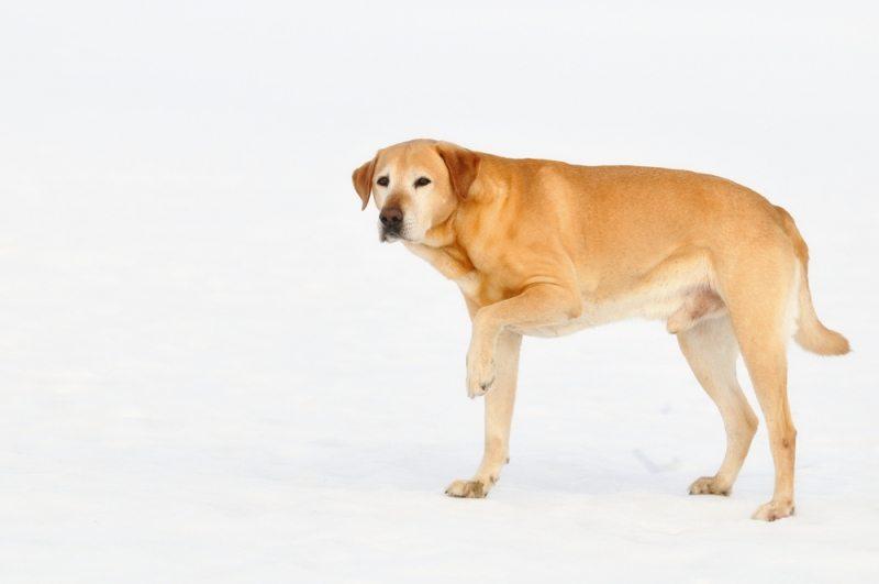 Hund med slidgigt