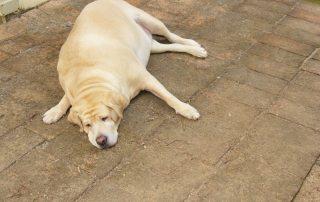 Overvægtig hund flader ud
