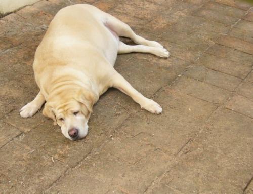 Overvægt hos hunde