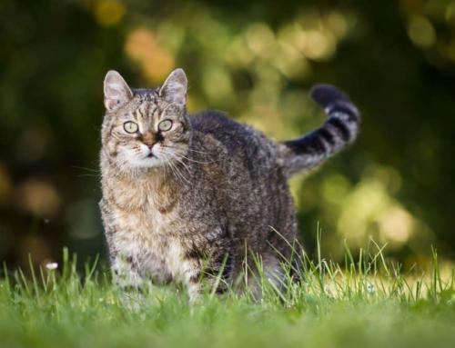 Få en slank, sund og mæt kat