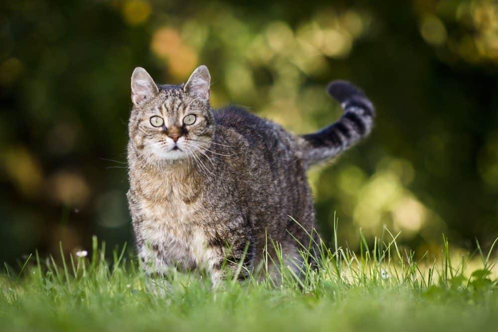 Overvægtig kat på græs