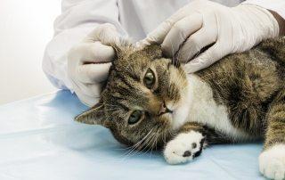 Kat undersøges for øremider